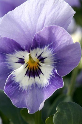 Annual Violas Garden Design