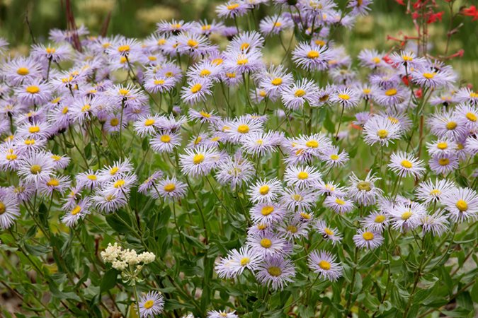 Asters how to grow care and design with these fall flowers western aster symphyotrichum ascendens purple flower shutterstock new york ny mightylinksfo