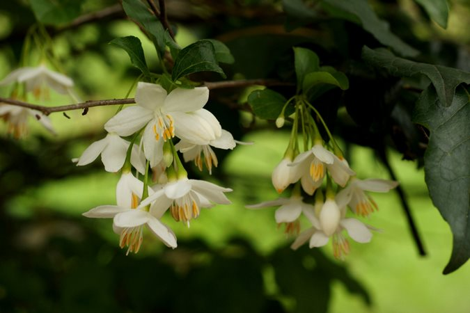 The 12 best flowering trees for the garden garden design japanese snowbell emstyrax japonicusem photo by mightylinksfo