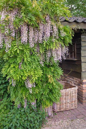 How To Grow Wisteria Garden Design