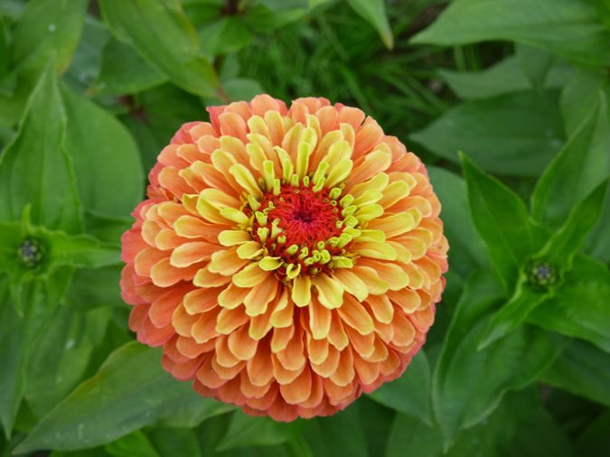 Zinnia Flowers: How to Grow and Care for Zinnia Plants | Garden Design