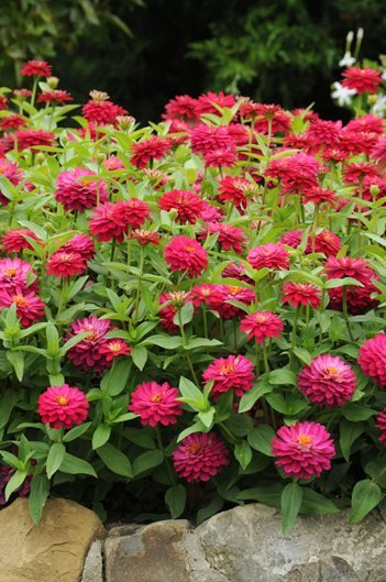 Zinnia Flowers: How to Grow and Care for Zinnia Plants ... on candytuft garden design, daylily garden design, rhododendron garden design, foxglove garden design, gardenia garden design, crepe myrtle garden design, petunia garden design, ornamental grasses garden design, rose garden design, dandelion garden design, mint garden design, gladiolus garden design, cosmos garden design, moon garden design, peony garden design, hosta garden design, bougainvillea garden design, lantana garden design, clematis garden design, holly garden design,