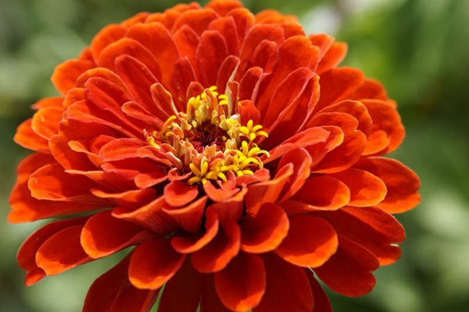 https://www.gardendesign.com/pictures/images/675x529Max/site_3/zinnia-orange-flower-pixabay_11868.jpg