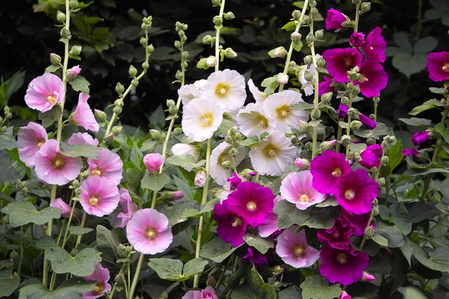 Incredible Growing Hollyhocks Planting Caring For Hollyhock Flowers Download Free Architecture Designs Ponolprimenicaraguapropertycom