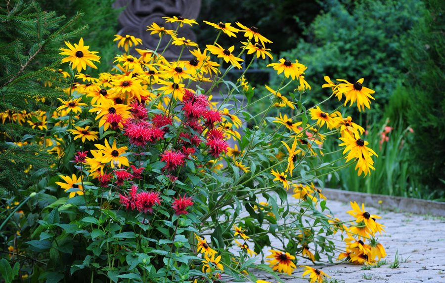 Black Eyed Susan Bee Balm Dream Team S Portland Garden Shutterstock New