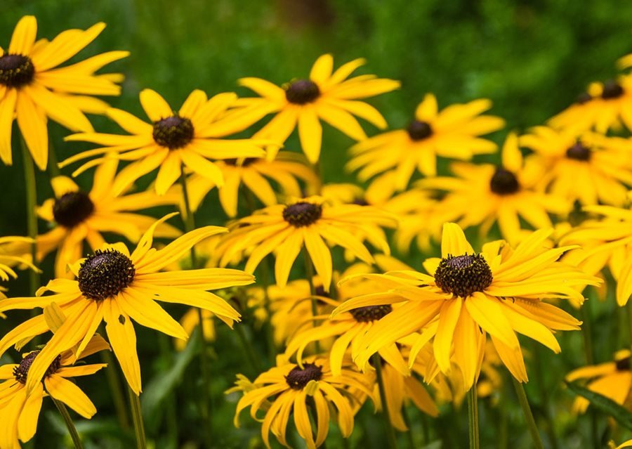Grow Black Eyed Susan – How to Plant & Care for Rudbeckia Flowers ...
