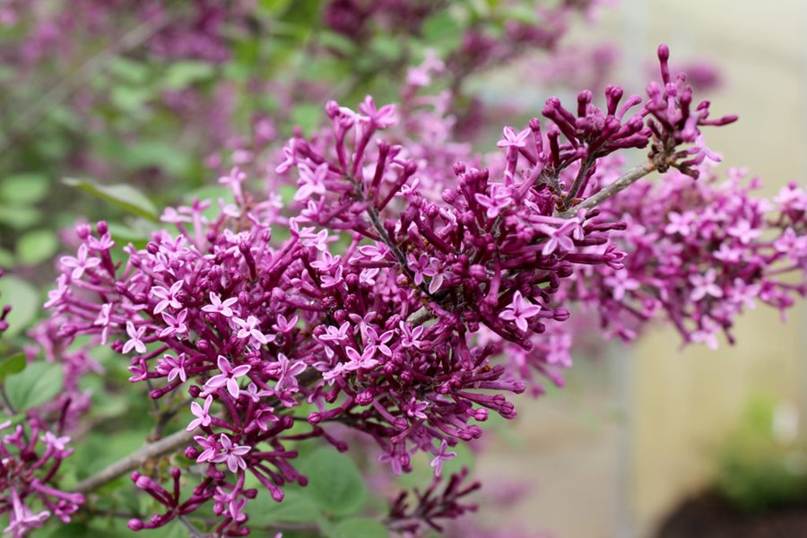 Growing Lilacs Planting Caring For Lilac Bushes Garden Design