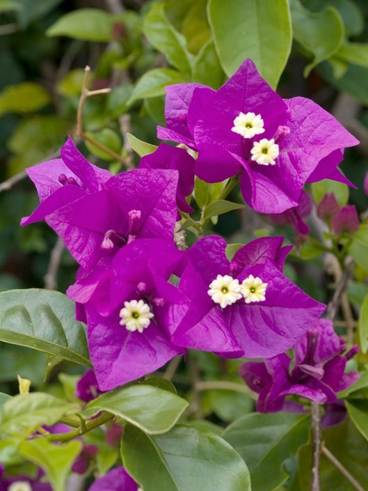 Bougainvillea Winter Care What To Do With A Bougainvillea: Growing Bougainvillea– Bougainvillea Care Tips