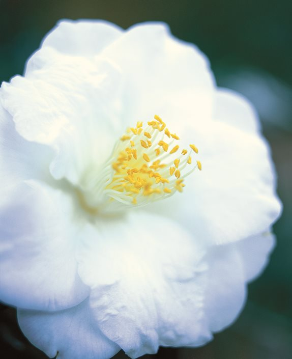 Camellia flower guide growing pruning more garden design camellia imura white flower dream teams portland garden leu gardens orlando fl mightylinksfo