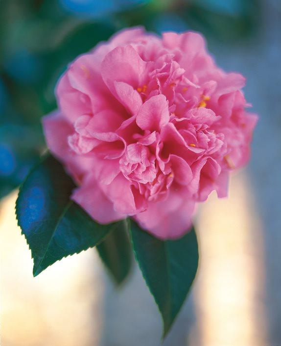 Camellia flower guide growing pruning more garden design camellia marchioness of exeter pink camellia dream teams portland garden leu gardens orlando mightylinksfo
