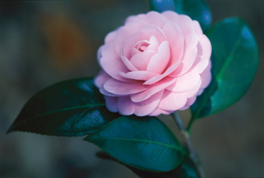 Camellia Flower Guide Growing Pruning More Garden Design