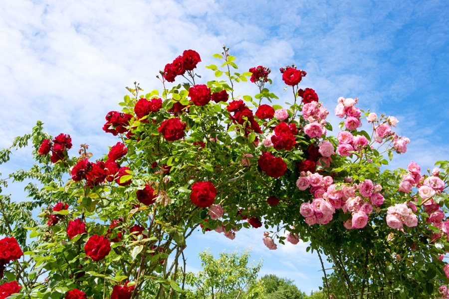 rose types- Climber Roses