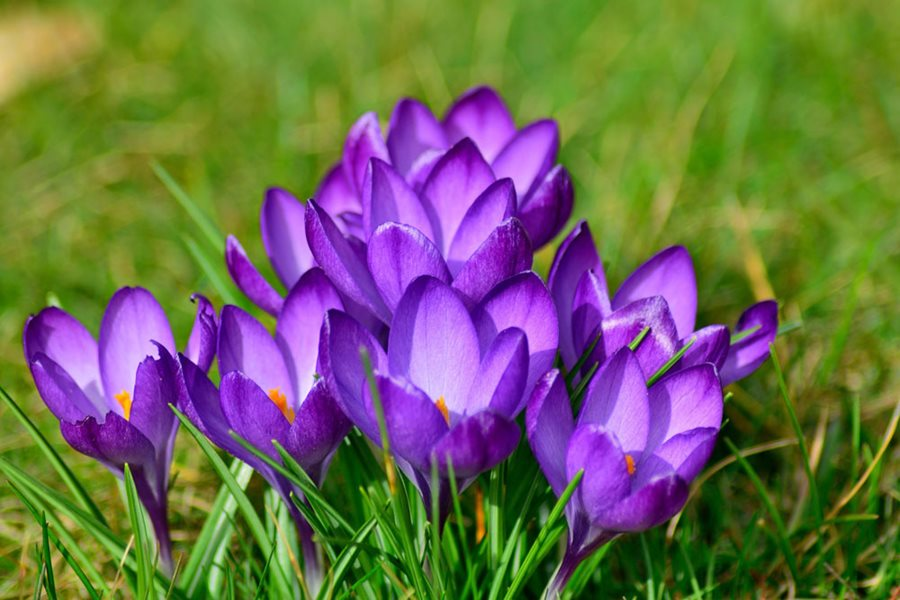 Growing Crocuses Planting Caring For Crocus Flowers Garden Design