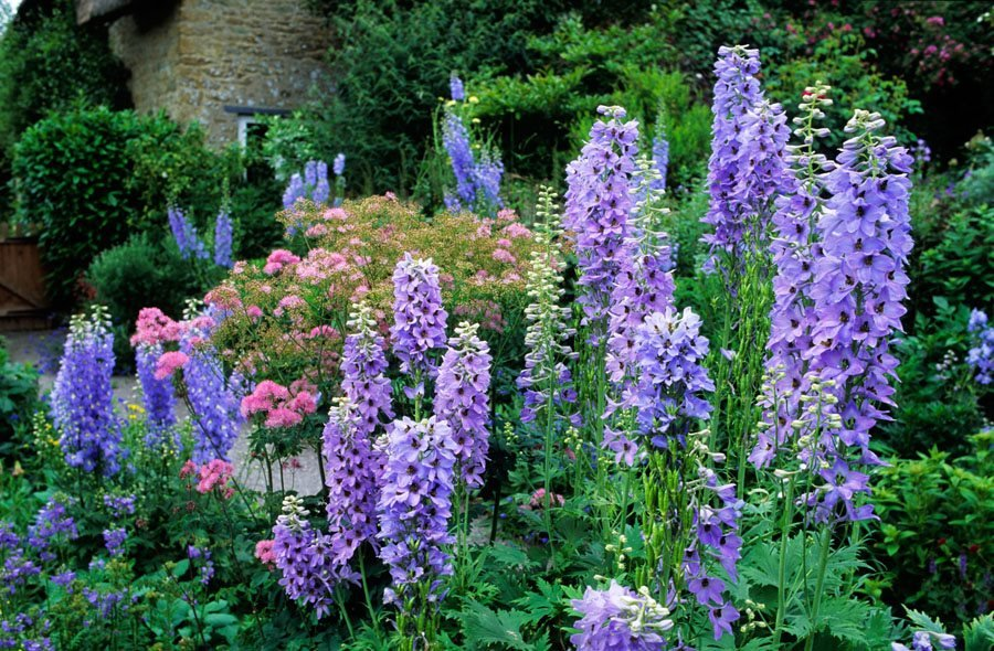 "Delphinium, Pacific Giant Hybrid, Purple Flowers ""Dream Team's"" Portland Garden Alamy Stock"