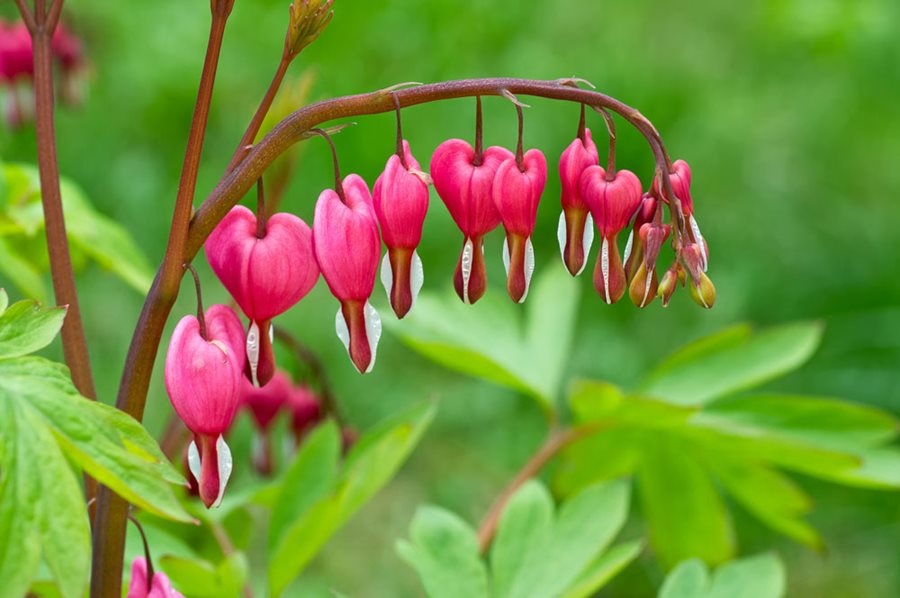 How To Grow Bleeding Heart Flowers Garden Design