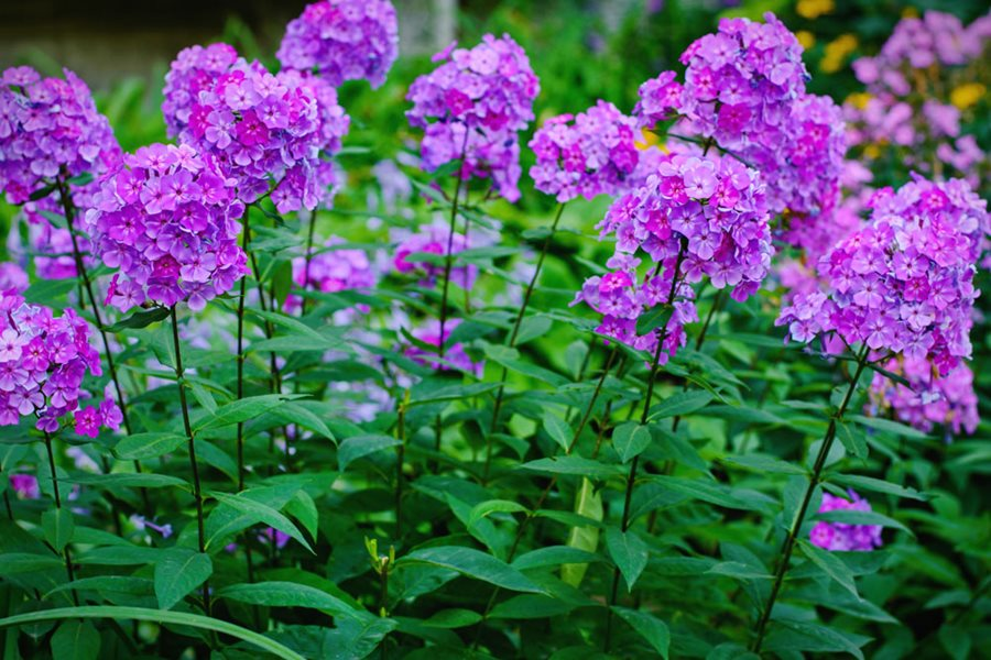 Growing Phlox Planting Caring For Garden Phlox Garden Design