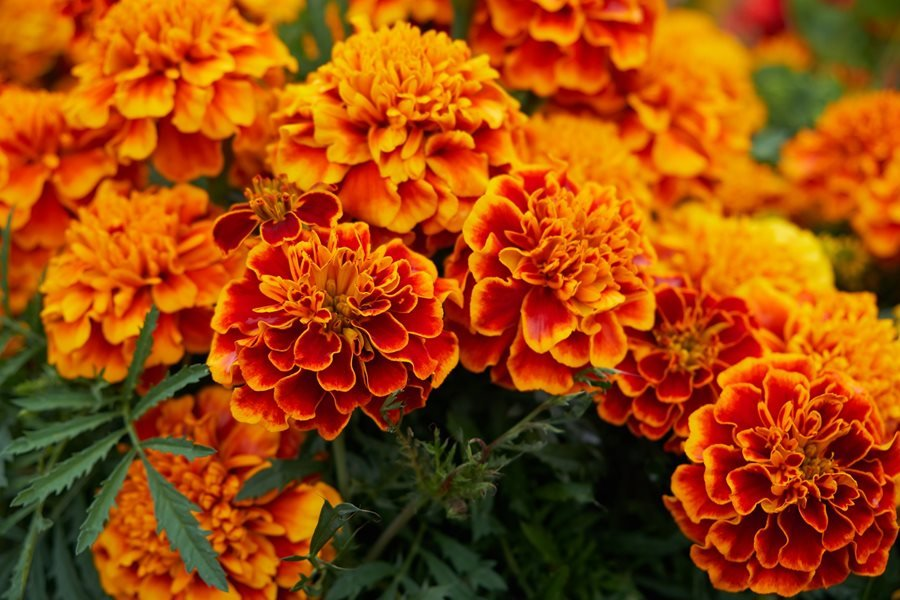 images for marigold flowers