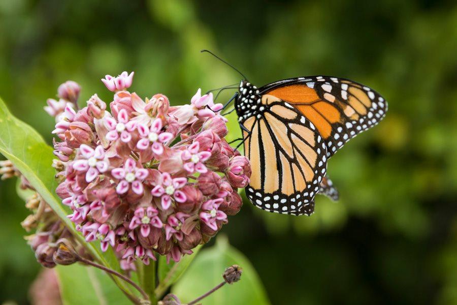 How to Grow Milkweed for Monarch erflies | Garden Design Circular Erfly Garden Design Html on