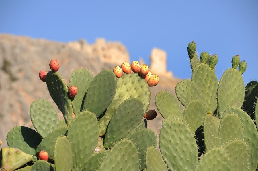 Prickly Pear How To Grow And Care For Opuntia Cactus Garden Design
