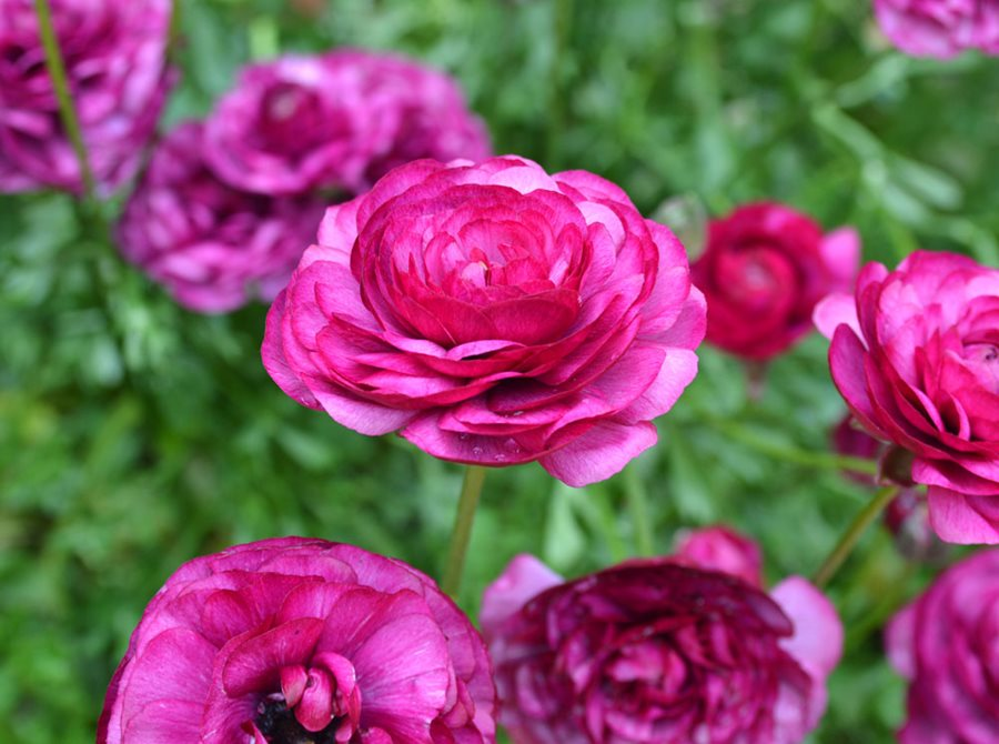 Growing Ranunculus Planting Amp Caring For Persian