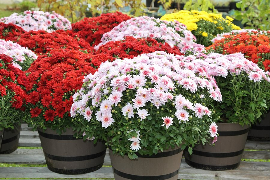 "Potted Mums, Fall Mums ""Dream Team's"" Portland Garden Alamy Stock Photo Brooklyn,"
