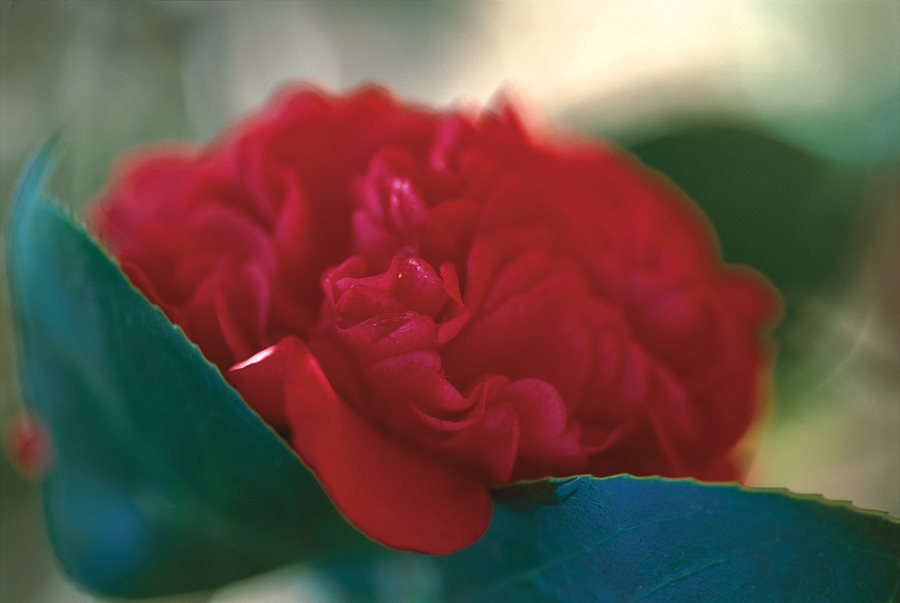 Camellia Flower Guide Growing Pruning More Garden Design