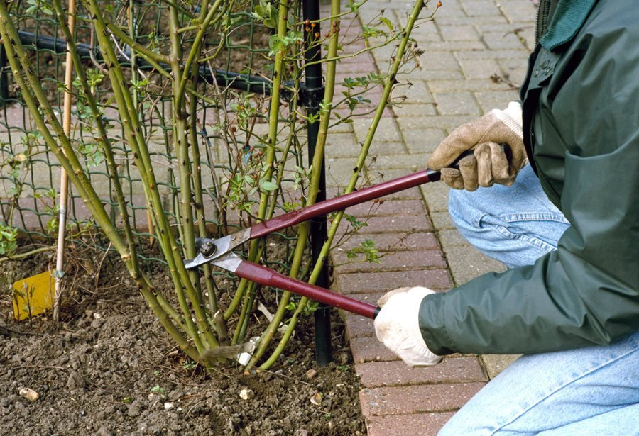 How To Prune Roses Pruning In 8 Simple Steps Garden Design