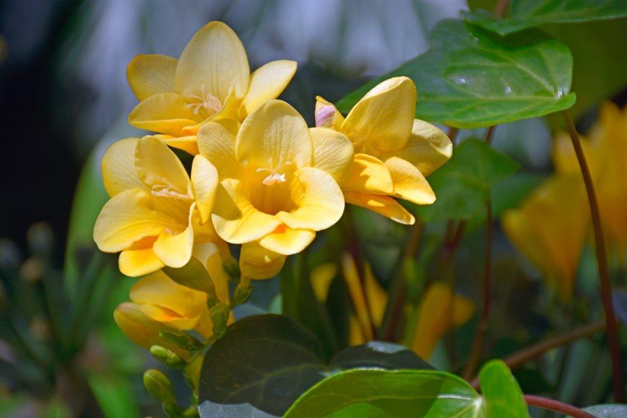 Freesia How To Grow Fragrant Freesia Flowers Garden Design