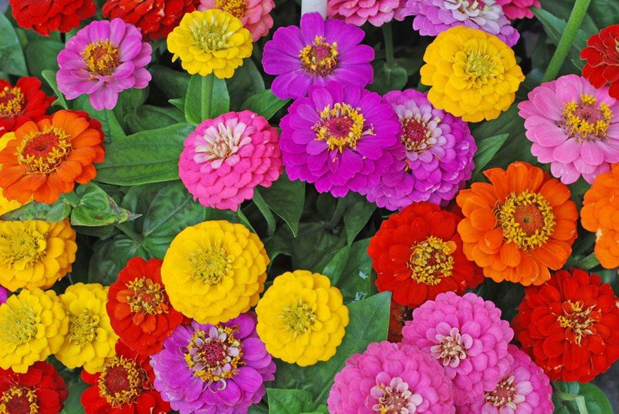 Zinnia - Flower Meanings