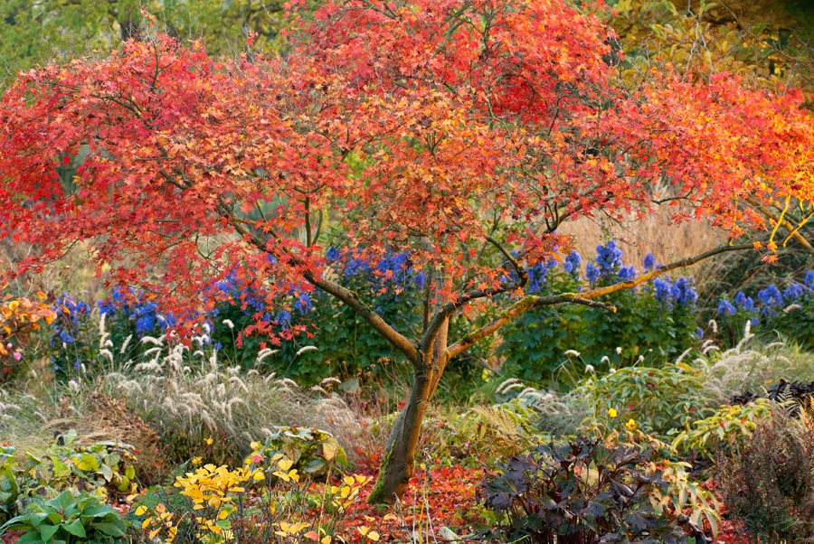 Types Of Japanese Maples Compare Acer Species Garden Design