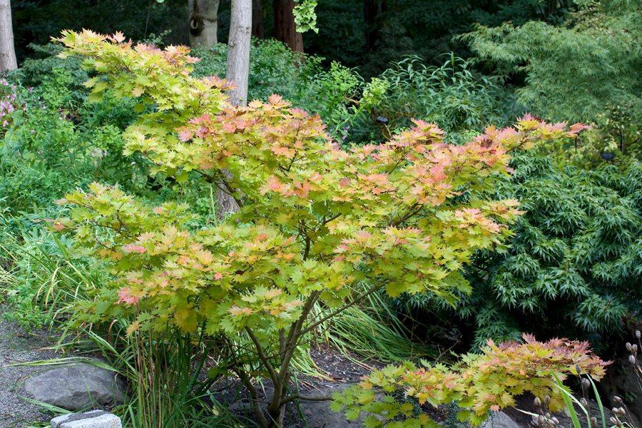 Types of Japanese Maples: Compare Acer Species | Garden Design