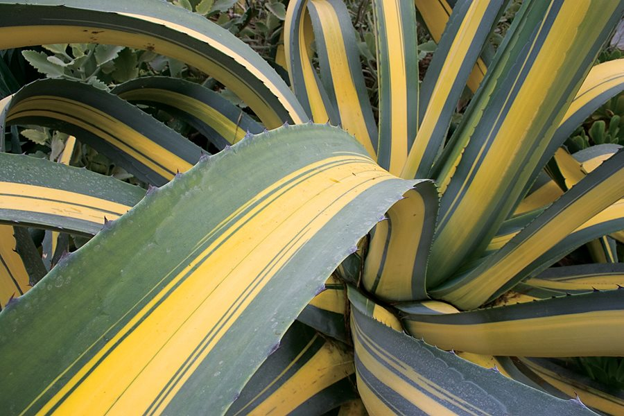 Agave Plant Care Amp Best Varieties To Grow Garden Design