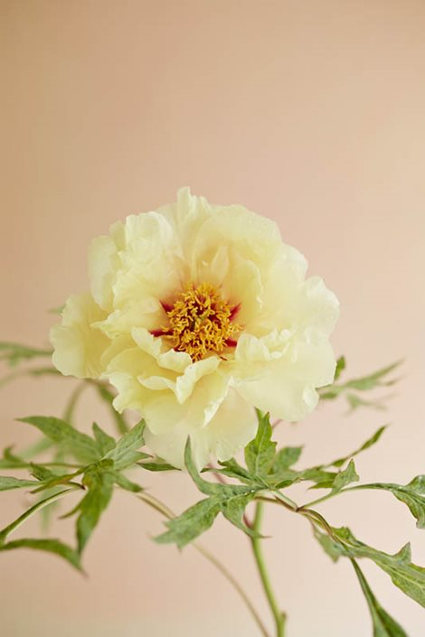 how to grow peony flowers