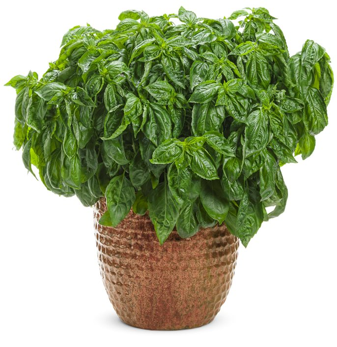 Basil How To Grow And Care For Basil Plants