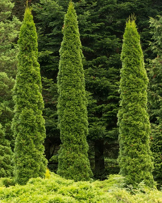 Arborvitae Trees Evergreen Dreamstime