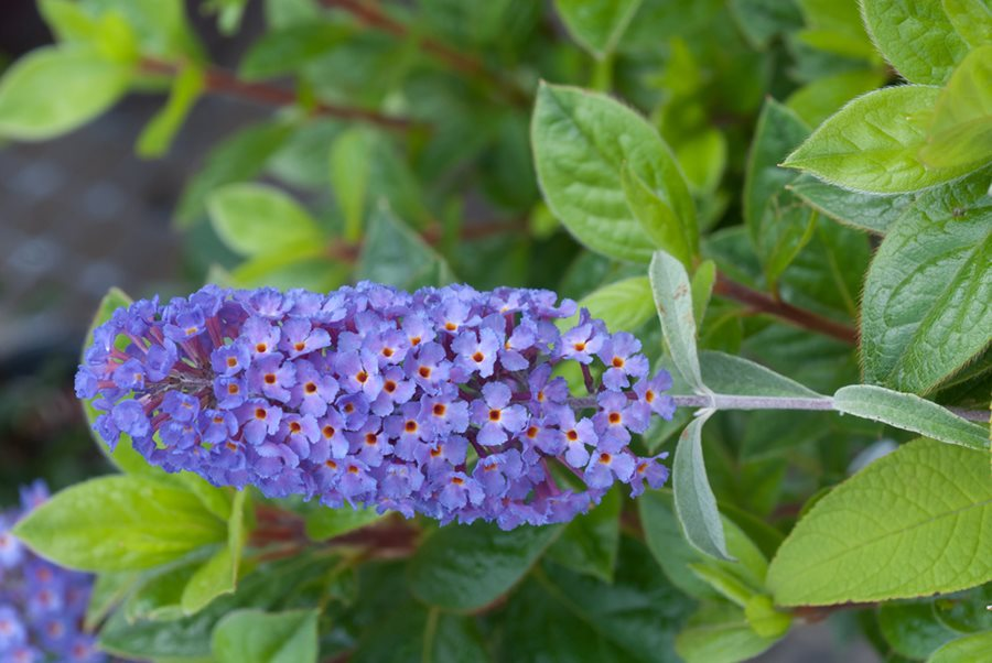 Well-known Butterfly Bush: Planting & Caring for Non-Invasive Buddleia  HH71