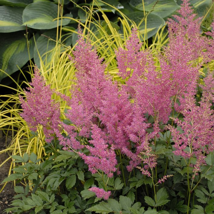 simplicifolia hybrid a pink hardy perennial plant Astilbe /'Sprite/'