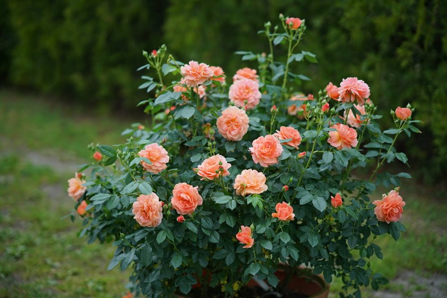 How To Grow Shrub Roses Garden Design