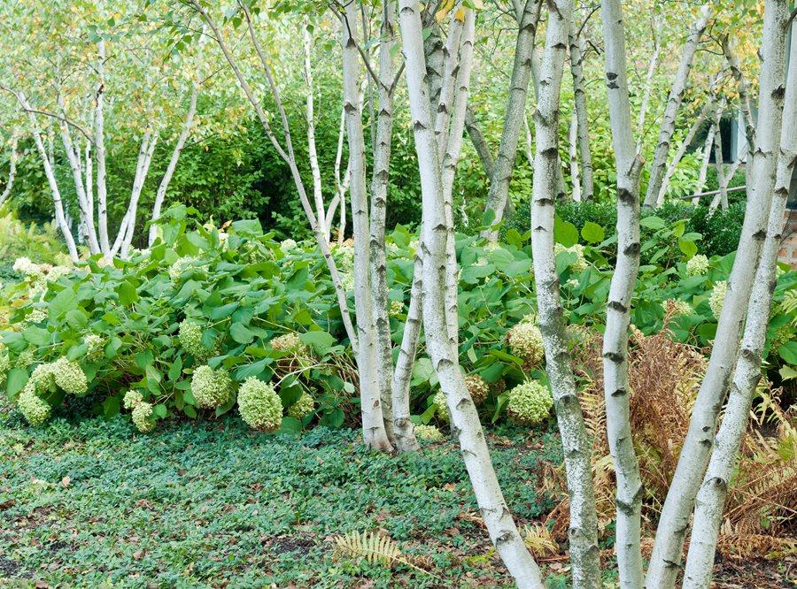 Birch Trees: Planting & Caring for Birches | Garden Design