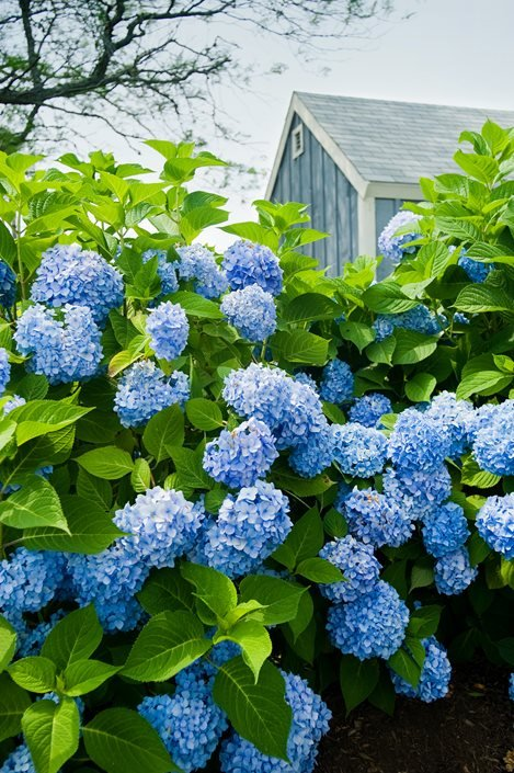 How To Grow Amp Care For Hydrangeas Garden Design