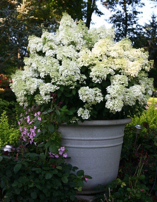 Hydrangea Care Planting How To Grow Hydrangea Flowers Garden Design