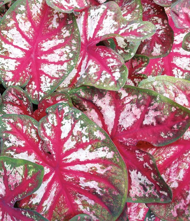 Caladiums How To Grow Care For Caladium Plants Garden Design