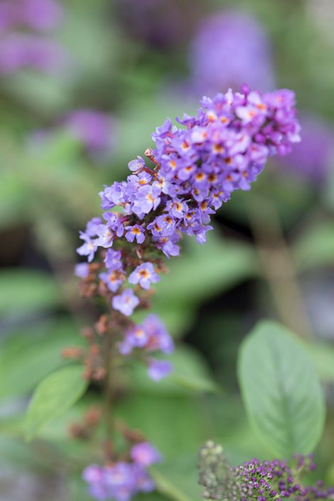 Butterfly Bush Planting Amp Caring For Non Invasive