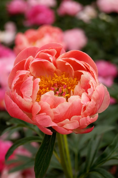 Growing Peonies How To Plant Care For Peony Flowers Garden
