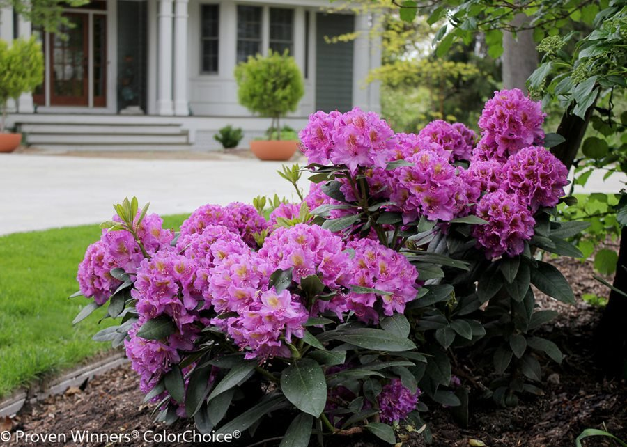Rhododendrons Azaleas Planting Pruning Care Info Garden Design