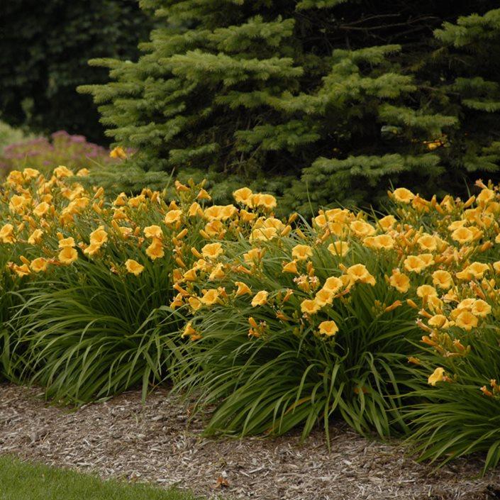 Daylilies, Garden Walters Gardens ,