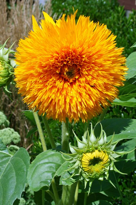 Growing Sunflowers How To Plant Amp Care For Sensational