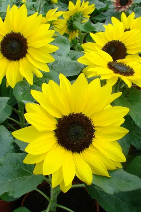 Growing Sunflowers How To Plant Care For Sensational Sunflowers
