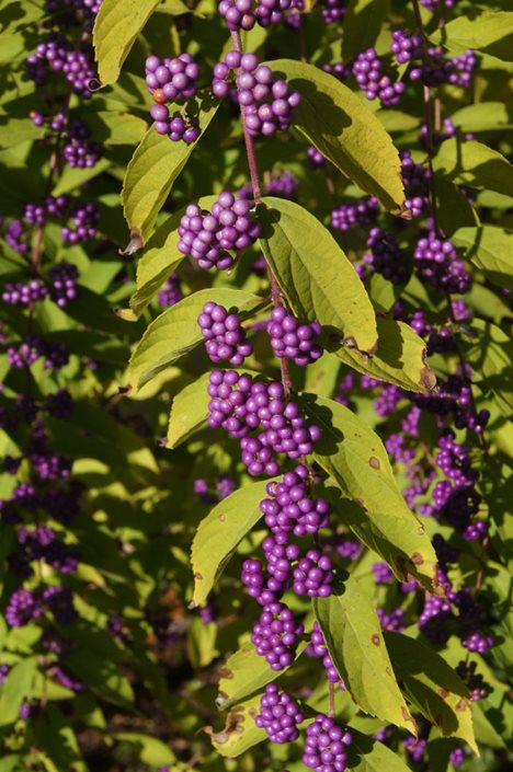Beautyberry How To Grow And Care For Callicarpa Shrubs Garden