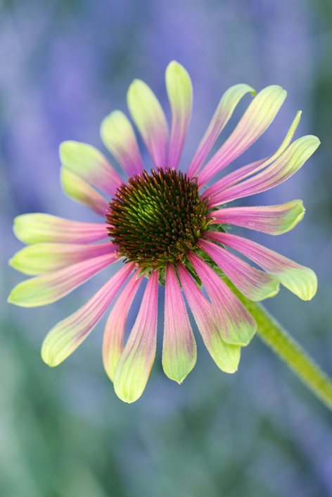 coneflower care planting growing echinacea flowers. Black Bedroom Furniture Sets. Home Design Ideas